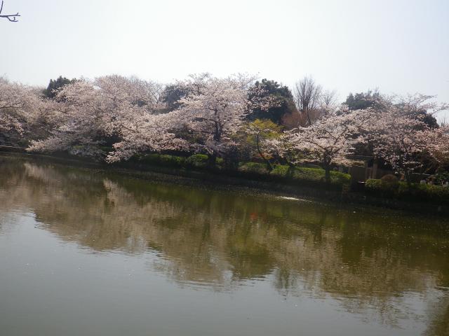 11)   18.03.28 鎌倉「鶴岡八幡宮」満開の桜