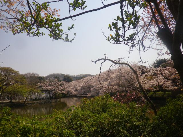 14)   18.03.28 鎌倉「鶴岡八幡宮」満開の桜