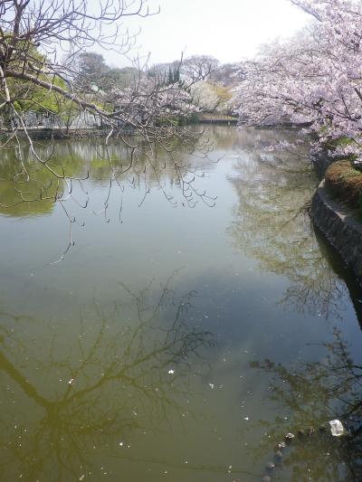 16)   18.03.28 鎌倉「鶴岡八幡宮」満開の桜