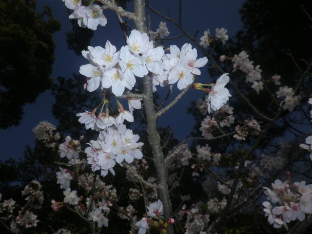 17-2)   18.03.28 鎌倉「鶴岡八幡宮」満開の桜
