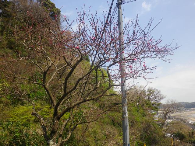 02-2)   写真02-1)左上の、' 梅ちゃん ' が まだ咲いていた。 18.03.30 鎌倉「成就院」桜が咲く頃