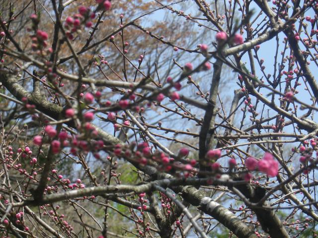 02-3) ' 梅ちゃん ' が まだ咲いていた。   18.03.30 鎌倉「成就院」桜が咲く頃