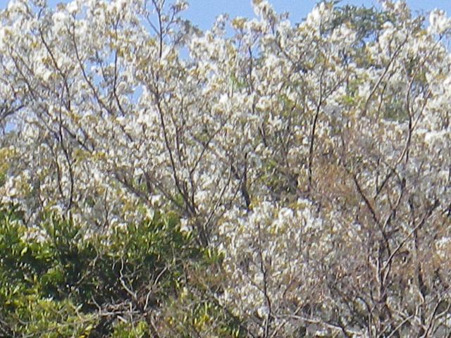 01-2) 三組一式の左ズームアップ    18.03.30 天照山裏側谷戸の山桜