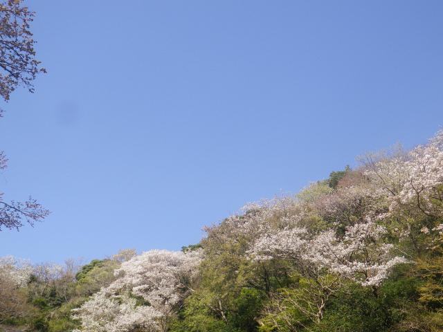 02-1) 三組一式の中    18.03.30 天照山裏側谷戸の山桜