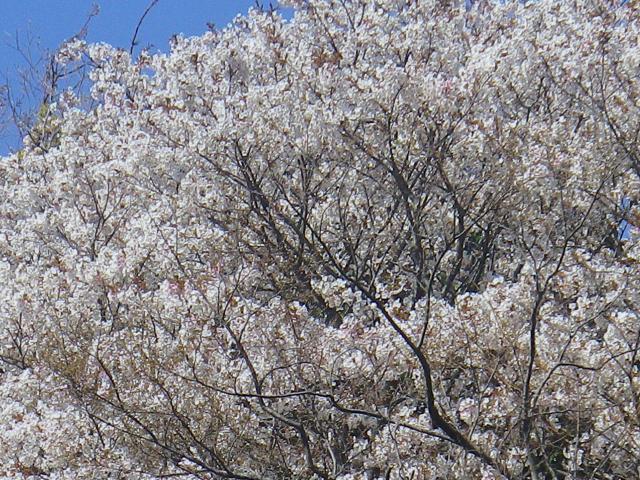 02-2)  三組一式の中ズームアップ   18.03.30 天照山裏側谷戸の山桜