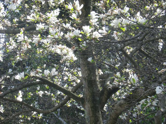 04-2)   18.03.30 鎌倉「光則寺」参道の桜と境内の天然記念物 花海棠が咲いたヨ