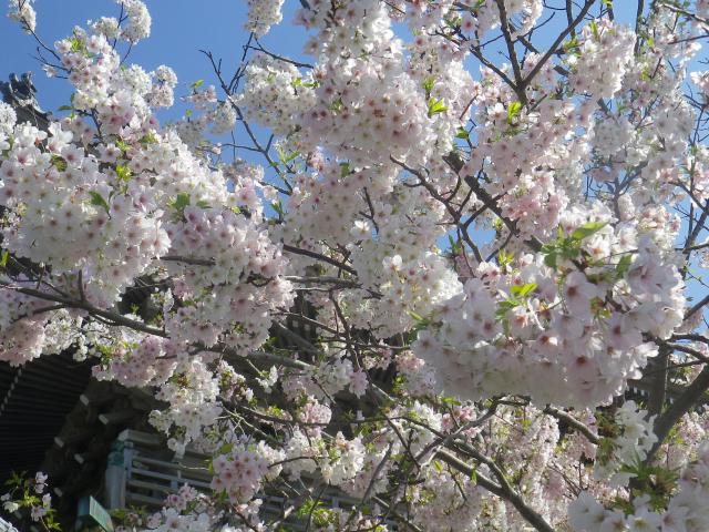01--3)   18.03.30 鎌倉「光明寺」満開の桜