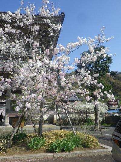 03-2)   18.03.30 鎌倉「光明寺」満開の桜