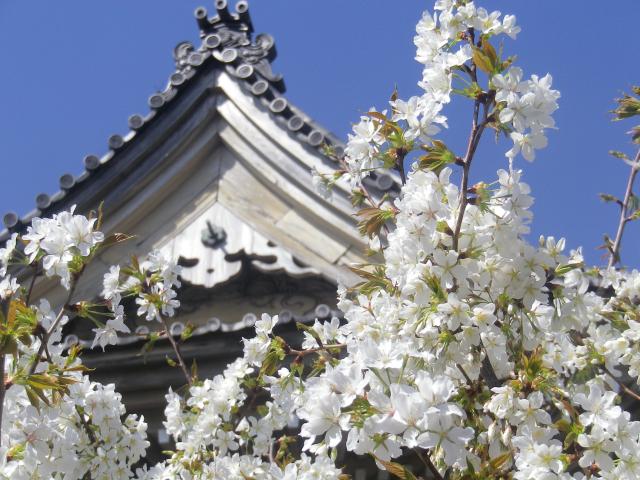 04--3)   18.03.30 鎌倉「光明寺」満開の桜