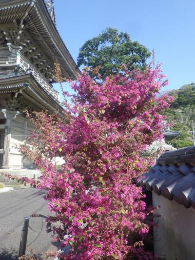 06-1)   18.03.30 鎌倉「光明寺」満開の桜