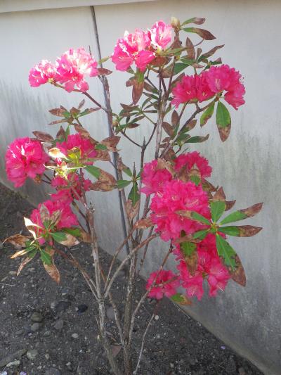 07-1)   18.03.30 鎌倉「光明寺」満開の桜