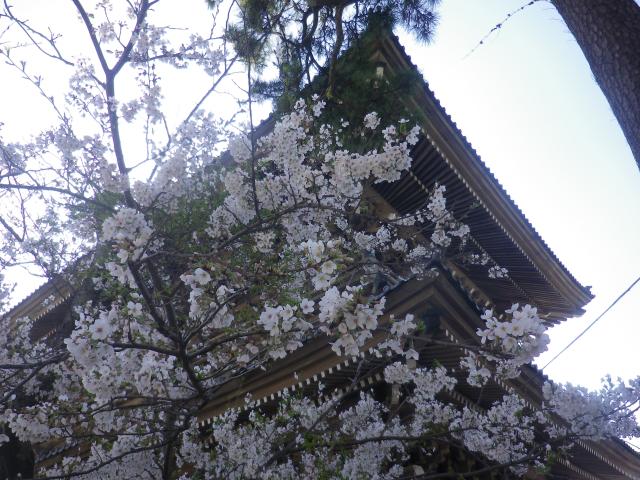 09-2)   18.03.30 鎌倉「光明寺」満開の桜