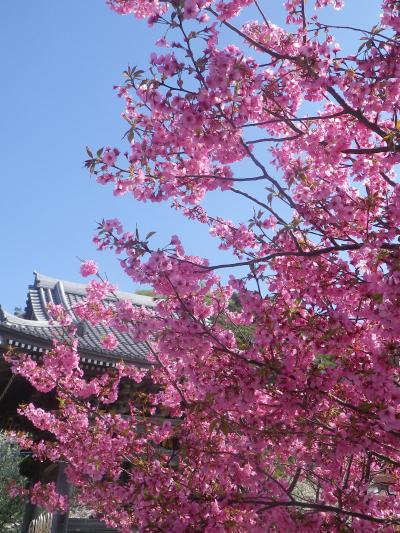 11)   18.03.30 鎌倉「光明寺」満開の桜