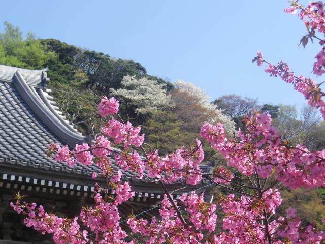 12--1)   18.03.30 鎌倉「光明寺」満開の桜