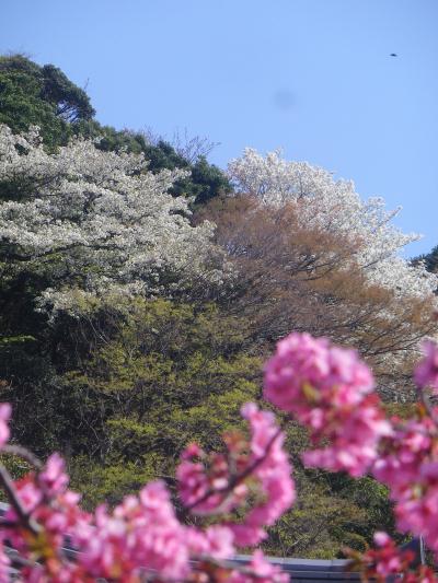 12-2)   18.03.30 鎌倉「光明寺」満開の桜