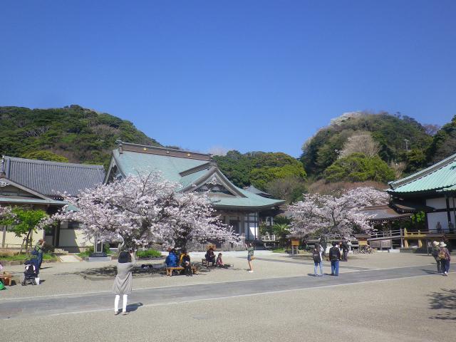 15)   18.03.30 鎌倉「光明寺」満開の桜