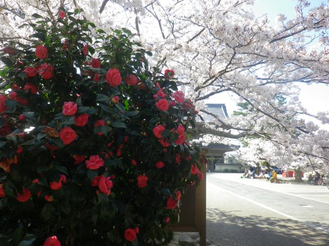 18)   18.03.30 鎌倉「光明寺」満開の桜