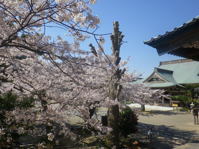 21)   18.03.30 鎌倉「光明寺」満開の桜