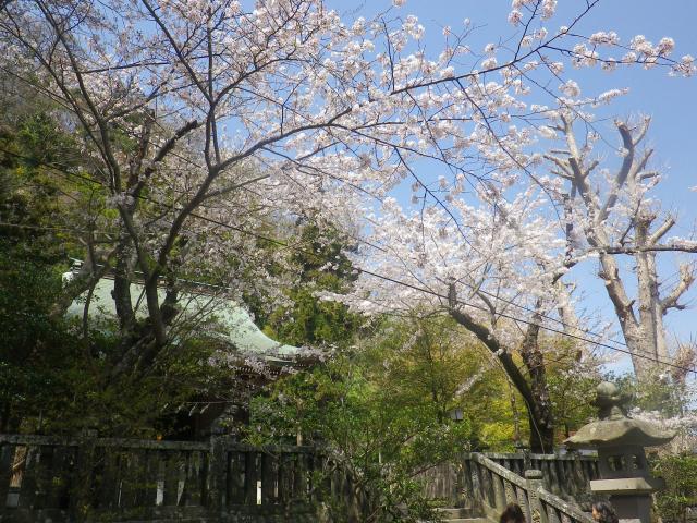 03)    18.03.30 鎌倉「御霊神社」の桜