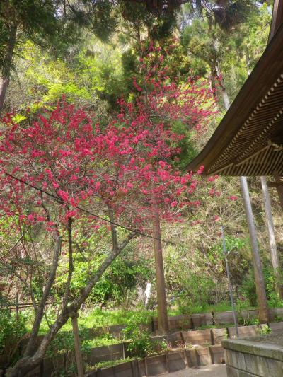 06-2)    18.03.30 鎌倉「御霊神社」の桜