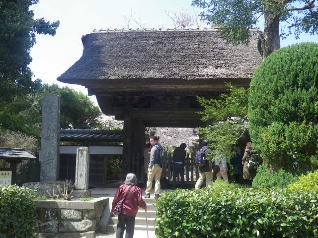 01)    18.03.30 鎌倉「極楽寺」山門外から見た境内参道の桜