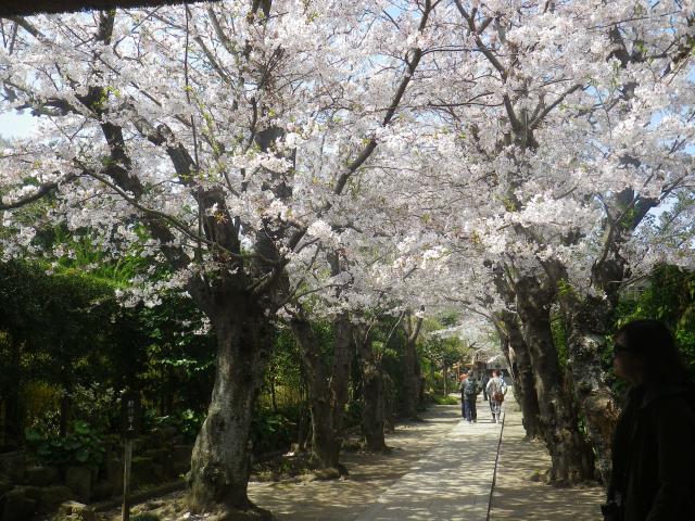 04-1)18.03.30 鎌倉「極楽寺」山門外から見た境内参道の桜