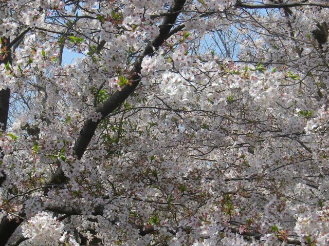 04-2)18.03.30 鎌倉「極楽寺」山門外から見た境内参道の桜