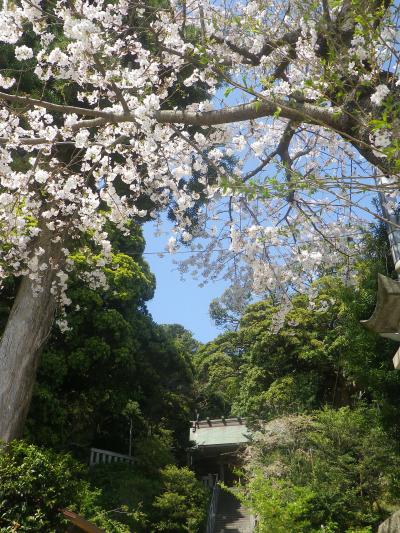 01-2)    18.03.30 鎌倉「甘縄神明宮」の桜