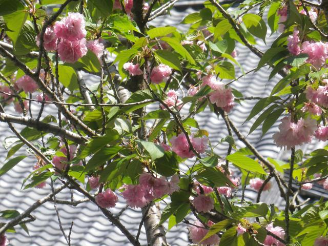 03-2)    18.04.13 鎌倉「妙本寺」満を持して! 御衣黄を観るだけの目的で寄ったら・・・ ・・・