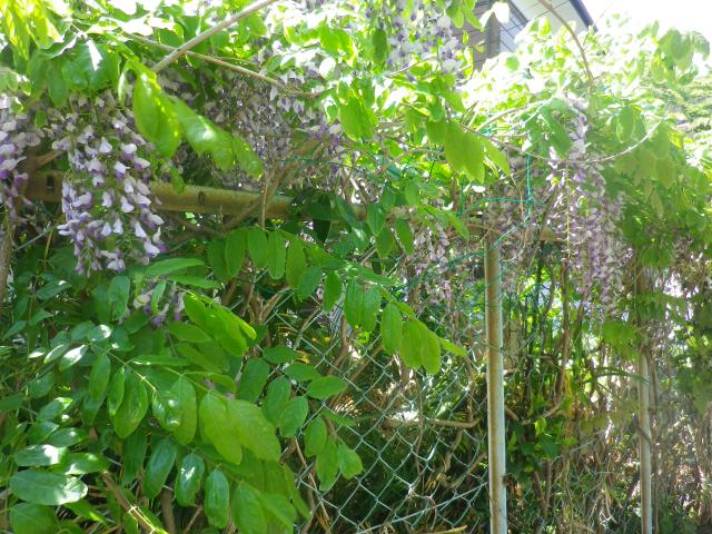 04)    18.04.19 某大豪邸の大庭園に咲く藤の花