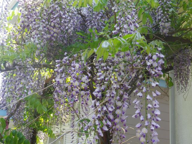 06)    18.04.19 某大豪邸の大庭園に咲く藤の花