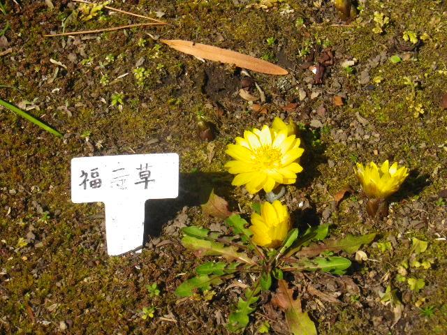 06) 福寿草