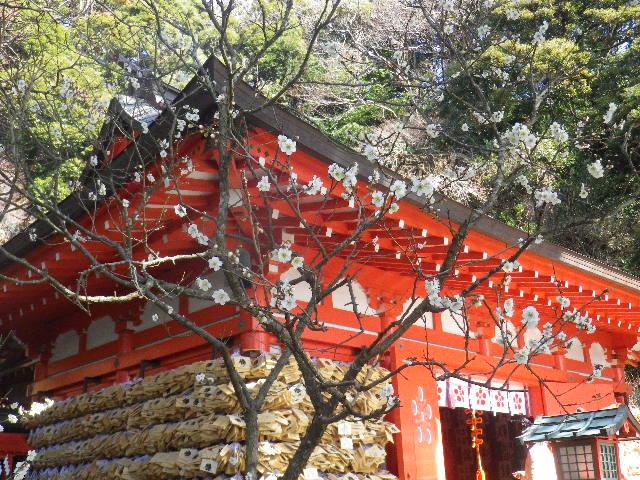 02-1-02) 社殿に向かって左の白梅。 _ 15.02.16 鎌倉「荏柄天神社」梅の頃