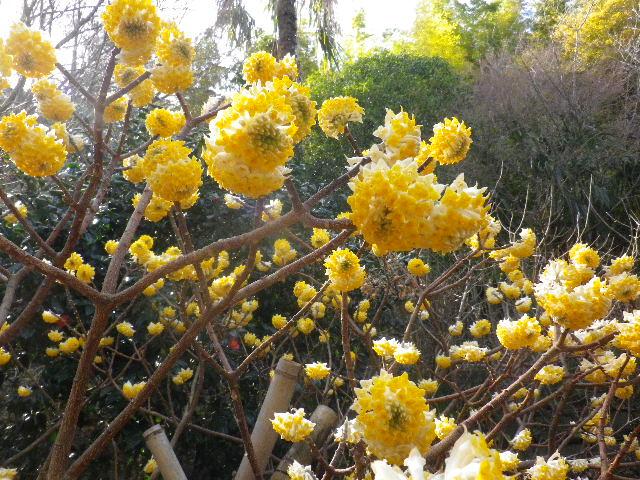 06-2) ミツマタの花