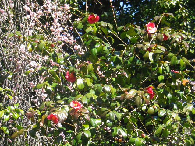 08-1) 鐘楼周辺の椿と枝垂れ梅