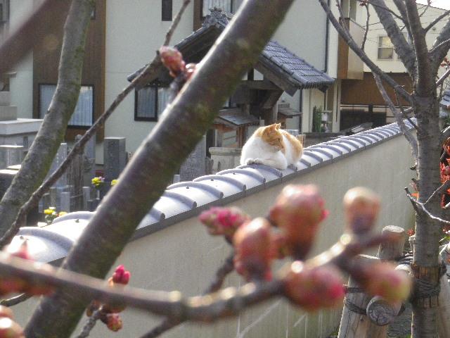 06-7) 細くて若い桜の蕾