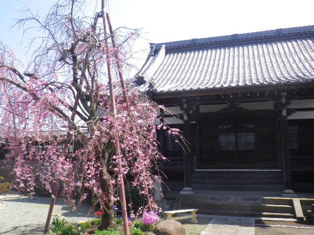 01)  15.03.30 鎌倉「本興寺」の枝垂れ桜