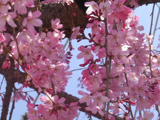 05)  15.03.30 鎌倉「本興寺」の枝垂れ桜