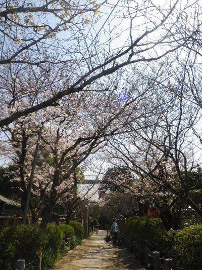01)  15.03.30 鎌倉「宝戒寺」参道の桜