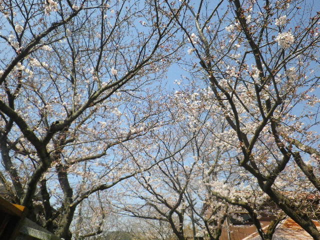 02)  15.03.30 鎌倉「宝戒寺」参道の桜