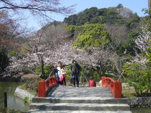 05)  15.03.30 鎌倉「鶴岡八幡宮」の桜