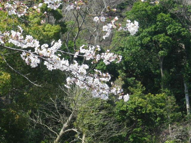 07-2)  15.03.30 鎌倉「鶴岡八幡宮」の桜