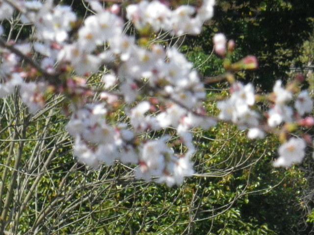 07-3)  15.03.30 鎌倉「鶴岡八幡宮」の桜