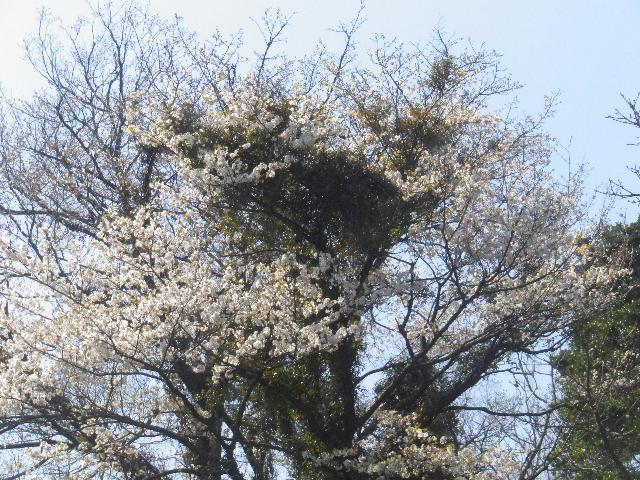 00-1)  15.03.30 ' 住吉城址 ' 周辺の山桜 _ 逗子市(/鎌倉市)