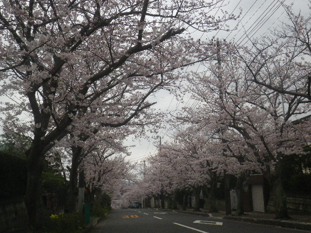 01-1) 15.04.01 逗子ハイランドの桜