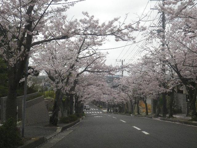 02) 15.04.01 逗子ハイランドの桜
