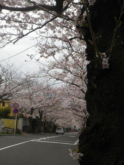 05-1) 15.04.01 逗子ハイランドの桜