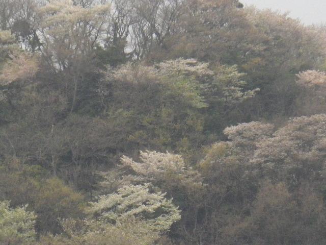02-3) 山桜