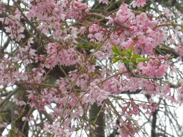 02-2) 15.04.01 「逗子市立 披露山公園」の桜