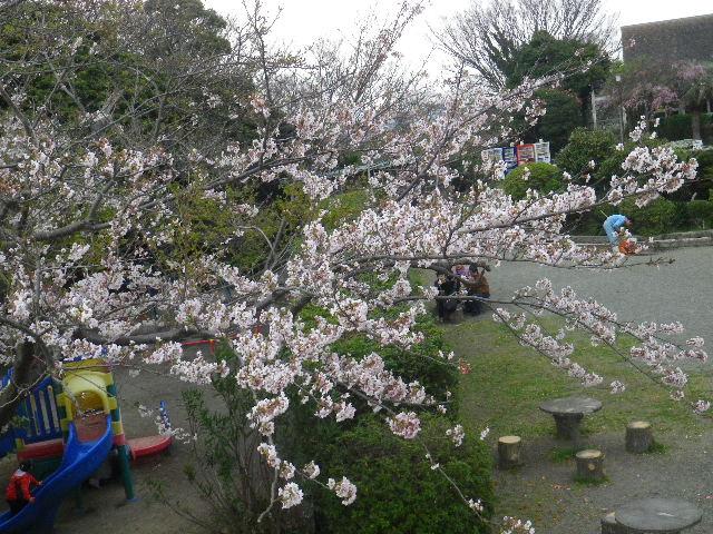 05) 15.04.01 「逗子市立 披露山公園」の桜